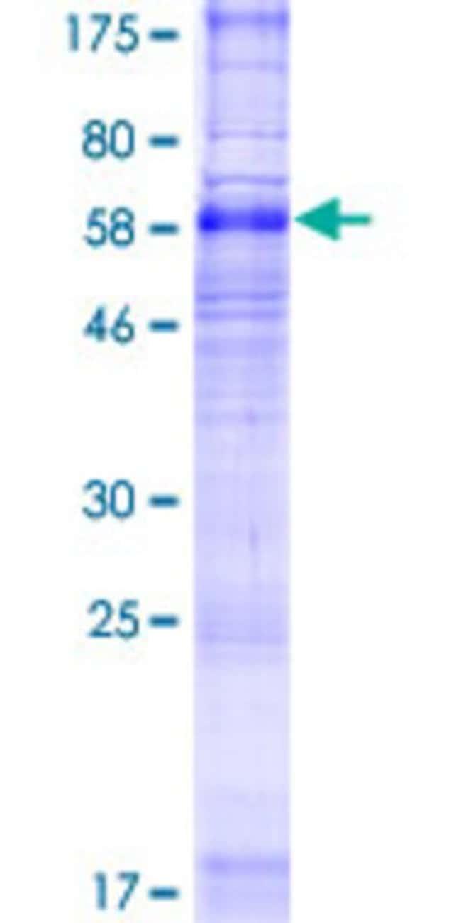 AbnovaHuman SLC35F2 Full-length ORF (NP_059985.2, 1 a.a. - 374 a.a.) Recombinant