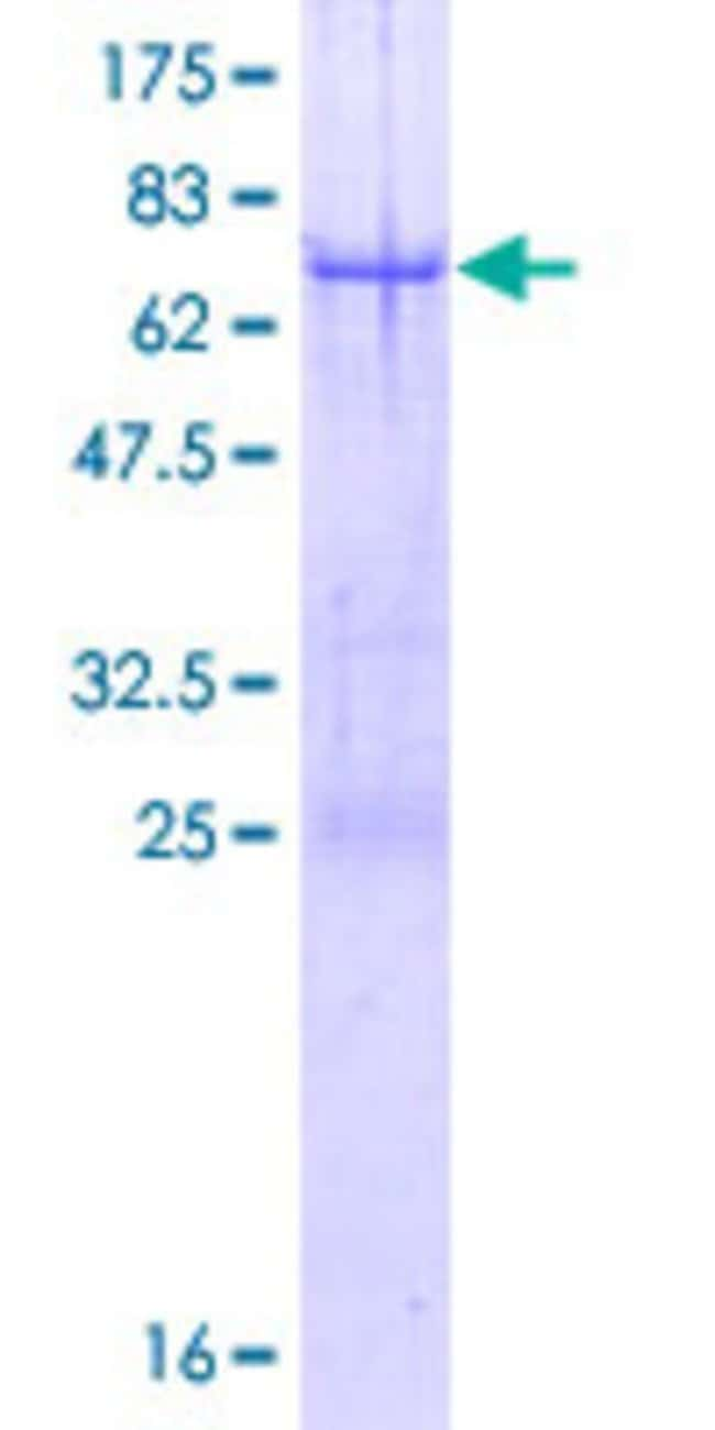 Abnova™ Human TRIM44 Full-length ORF (NP_060053.2, 1 a.a. - 344 a.a.) Recombinant Protein with GST-tag at N-terminal 25μg Abnova™ Human TRIM44 Full-length ORF (NP_060053.2, 1 a.a. - 344 a.a.) Recombinant Protein with GST-tag at N-terminal