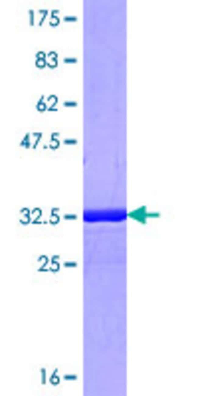 AbnovaHuman FNBP1L Partial ORF (NP_060207.2, 175 a.a. - 239 a.a.) Recombinant