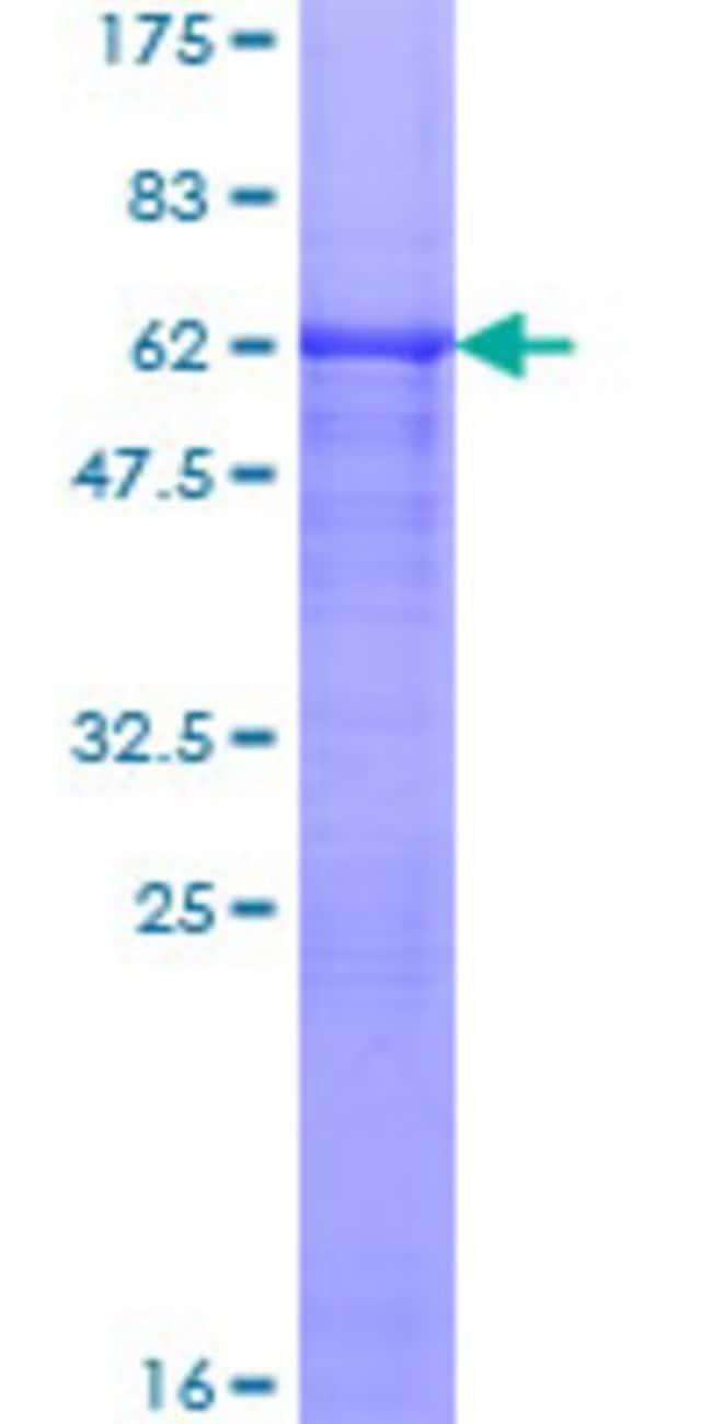 Abnova Human RASIP1 Full-length ORF (AAH21860.1, 1 a.a. - 317 a.a.) Recombinant