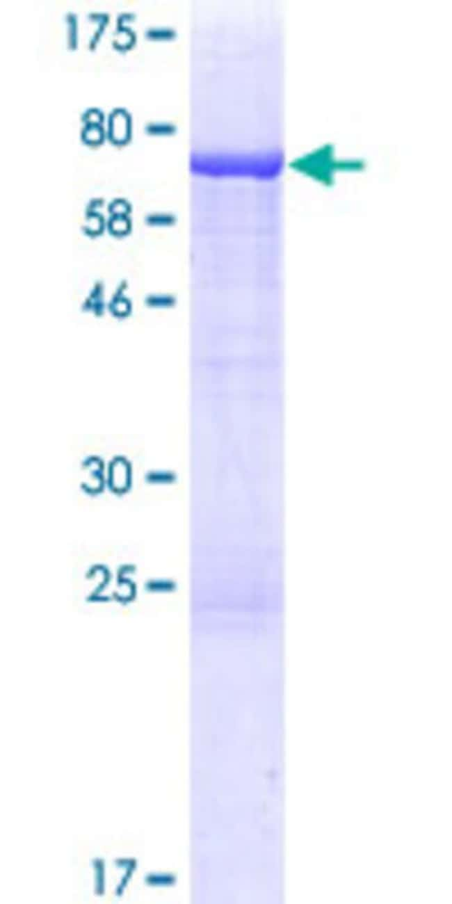 AbnovaHuman TRMT12 Full-length ORF (AAH11713.1, 1 a.a. - 448 a.a.) Recombinant