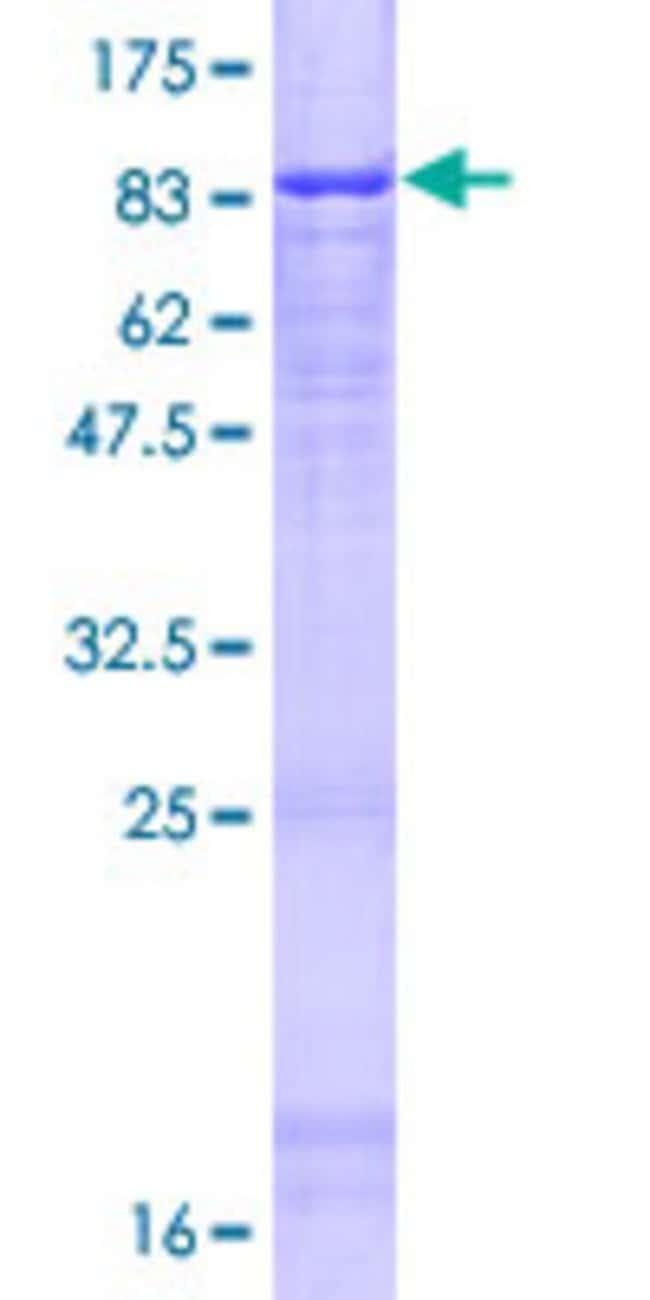 AbnovaHuman ATG16L1 Full-length ORF (NP_110430.4, 1 a.a. - 523 a.a.) Recombinant