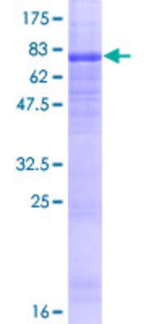 AbnovaHuman WIPI1 Full-length ORF (NP_060453.2, 1 a.a. - 446 a.a.) Recombinant