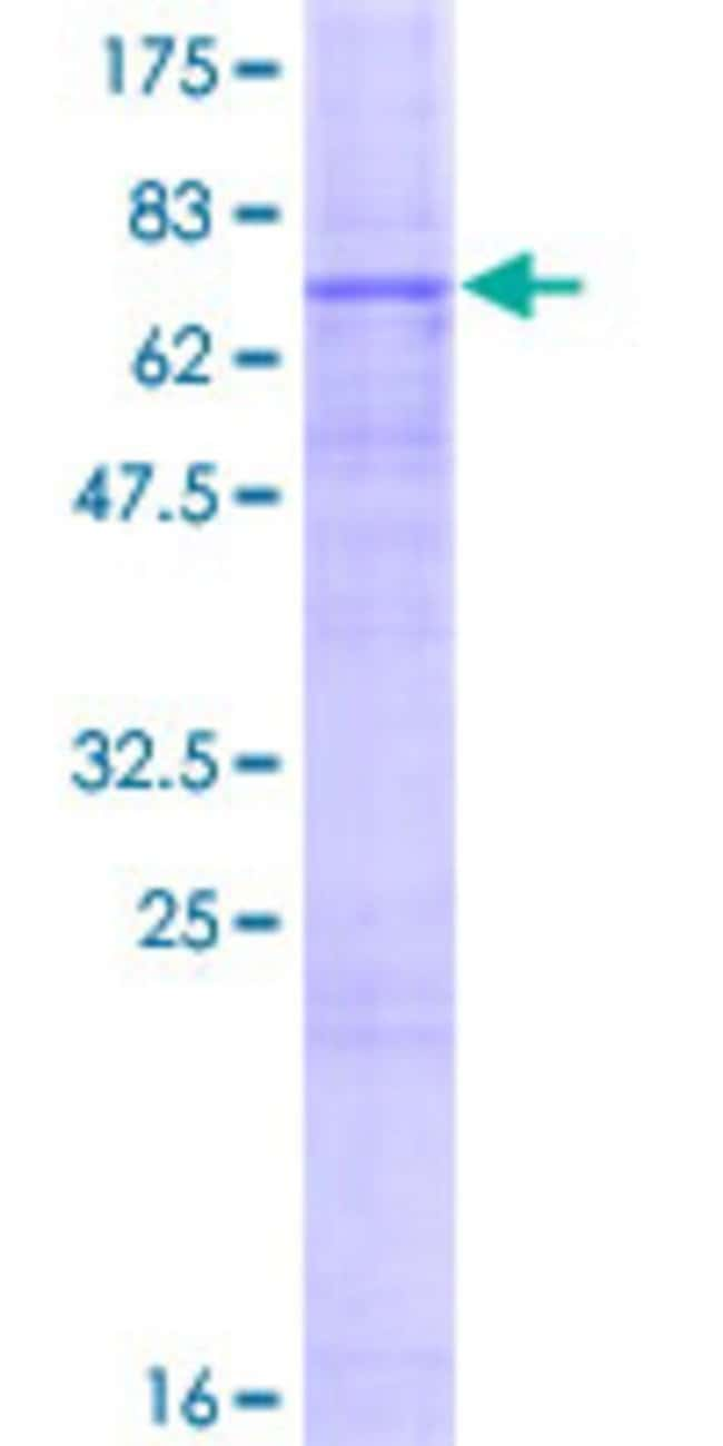 Abnova™Human GPR172B Full-length ORF (NP_060456.2, 1 a.a. - 448 a.a.) Recombinant Protein with GST-tag at N-terminal 10μg Abnova™Human GPR172B Full-length ORF (NP_060456.2, 1 a.a. - 448 a.a.) Recombinant Protein with GST-tag at N-terminal