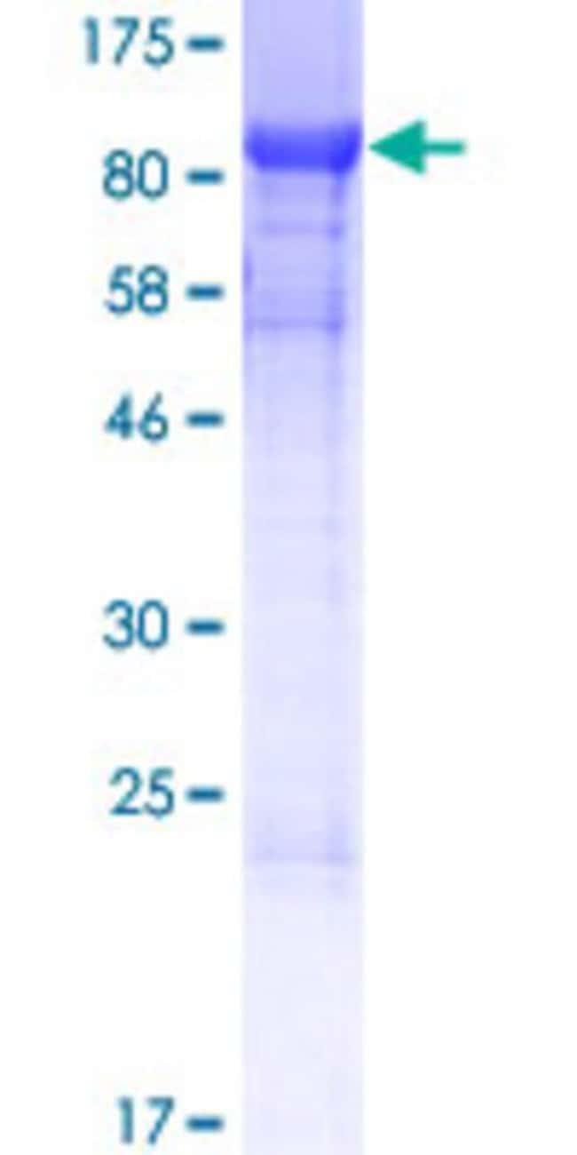 AbnovaHuman SHQ1 Full-length ORF (AAH47879.1, 1 a.a. - 577 a.a.) Recombinant
