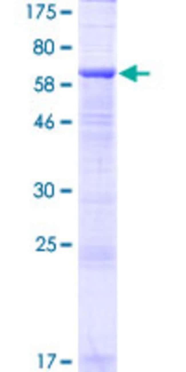 AbnovaHuman LINS1 Full-length ORF (AAH10363.1, 1 a.a. - 436 a.a.) Recombinant