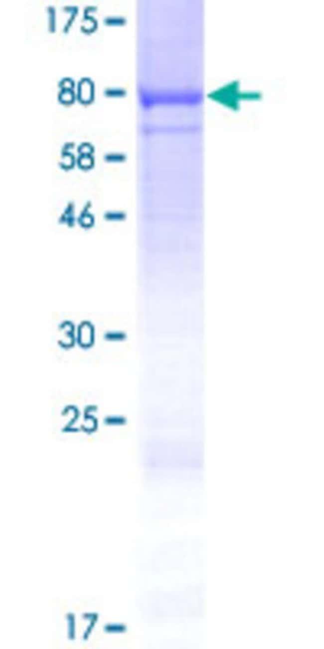 AbnovaHuman CWF19L1 Full-length ORF (AAH08746.1, 1 a.a. - 538 a.a.) Recombinant