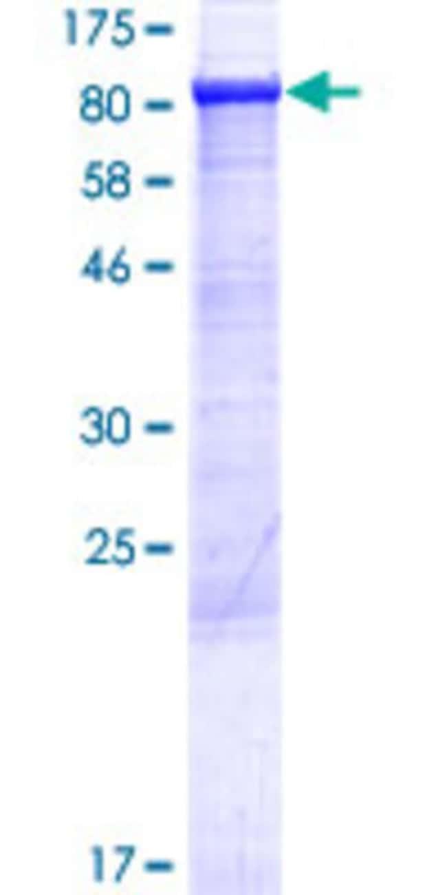AbnovaHuman ABCF3 Full-length ORF (AAH09253.1, 1 a.a. - 709 a.a.) Recombinant