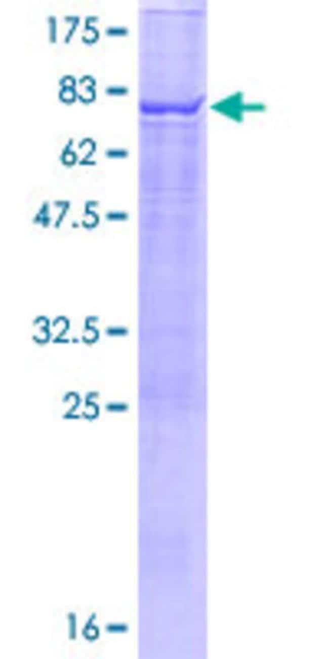 AbnovaHuman TBC1D2 Full-length ORF (AAH71978.1, 1 a.a. - 502 a.a.) Recombinant