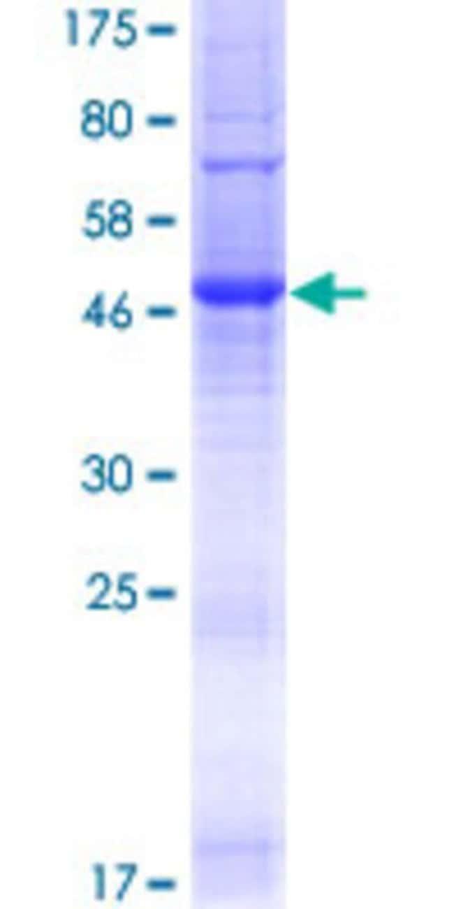 Abnova Human TMEM176A Full-length ORF (NP_060957.2, 1 a.a. - 235 a.a.)