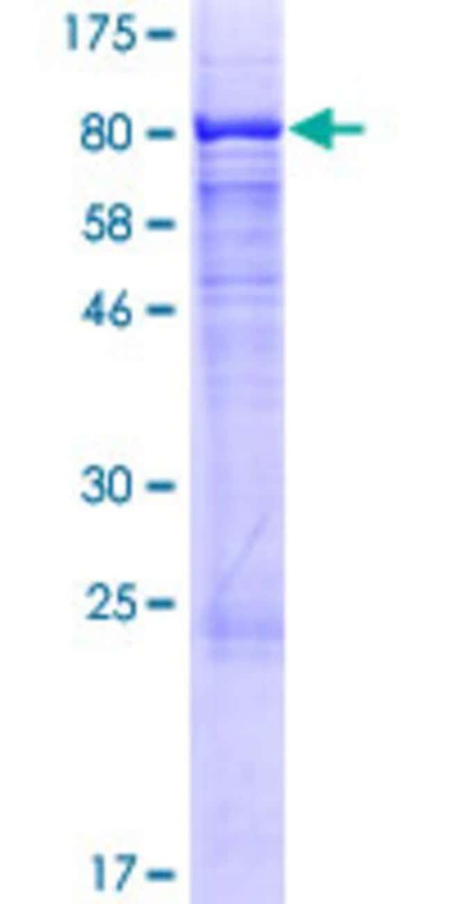 AbnovaHuman GALNACT-2 Full-length ORF (NP_061060.3, 1 a.a. - 542 a.a.)