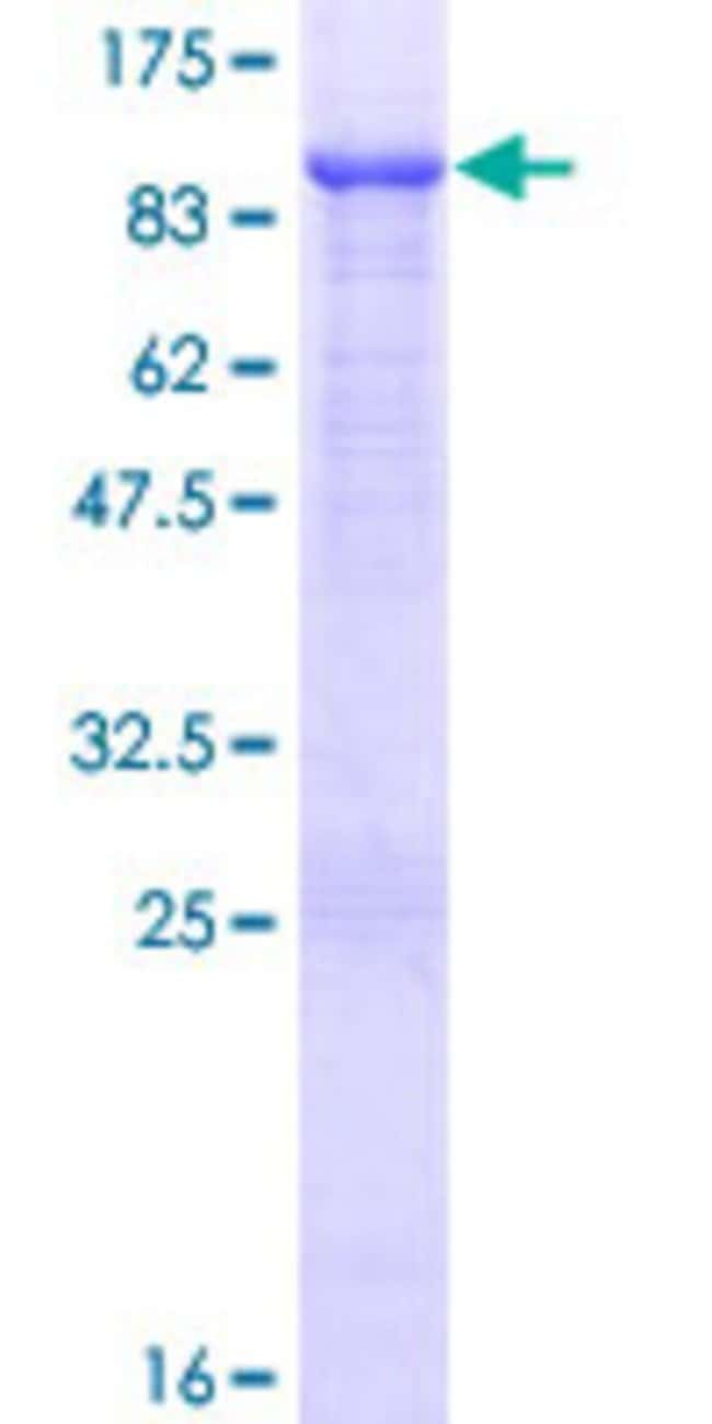 AbnovaHuman FERMT1 Full-length ORF (NP_060141.2, 1 a.a. - 677 a.a.) Recombinant