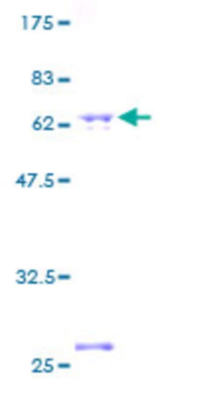 AbnovaHuman CDC37L1 Full-length ORF (AAH14133, 1 a.a. - 337 a.a.) Recombinant
