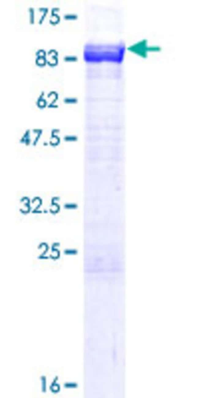 Abnova™Human NPLOC4 Full-length ORF (AAH25930.1, 1 a.a. - 608 a.a.) Recombinant Protein with GST-tag at N-terminal 10μg Abnova™Human NPLOC4 Full-length ORF (AAH25930.1, 1 a.a. - 608 a.a.) Recombinant Protein with GST-tag at N-terminal