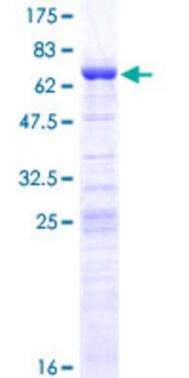 AbnovaHuman LUC7L Full-length ORF (NP_060502.1, 1 a.a. - 325 a.a.) Recombinant