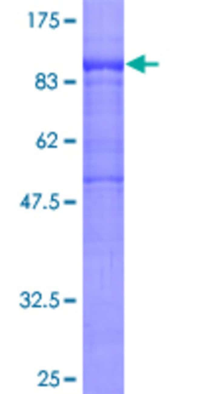 AbnovaHuman POLR3E Full-length ORF (AAH00285, 1 a.a. - 666 a.a.) Recombinant