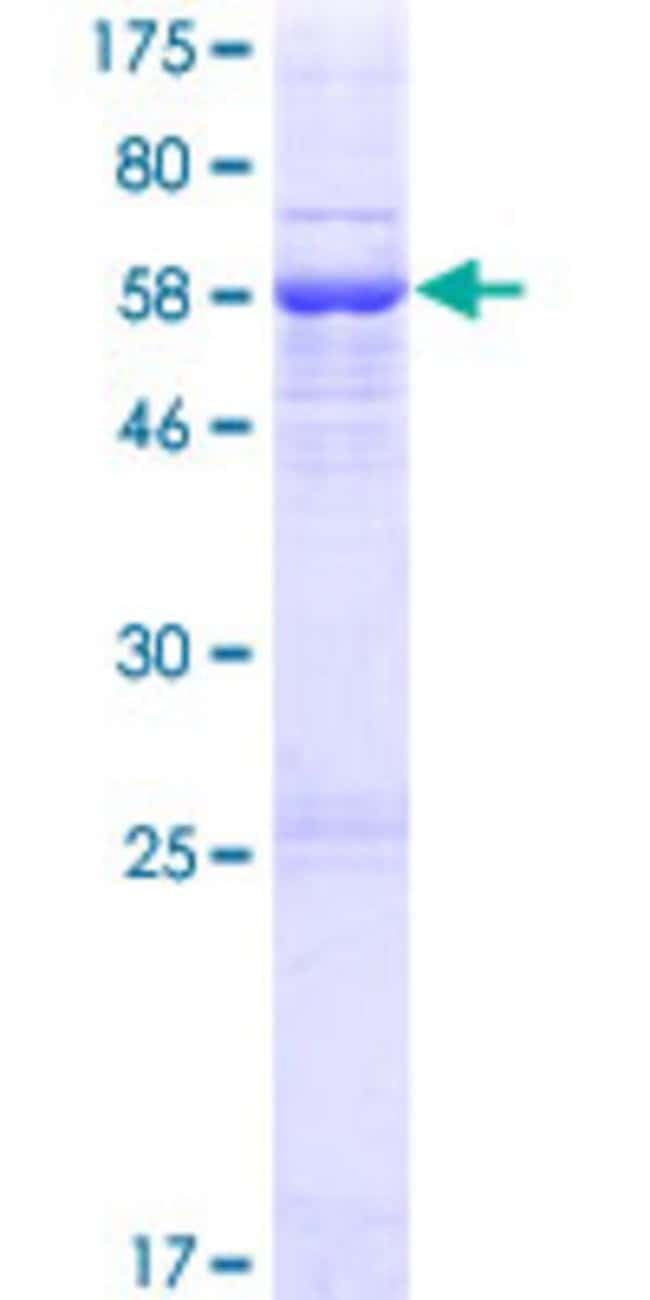 Abnova™Human FLJ10769 Full-length ORF (AAH41028.1, 1 a.a. - 347 a.a.) Recombinant Protein with GST-tag at N-terminal 10μg Abnova™Human FLJ10769 Full-length ORF (AAH41028.1, 1 a.a. - 347 a.a.) Recombinant Protein with GST-tag at N-terminal