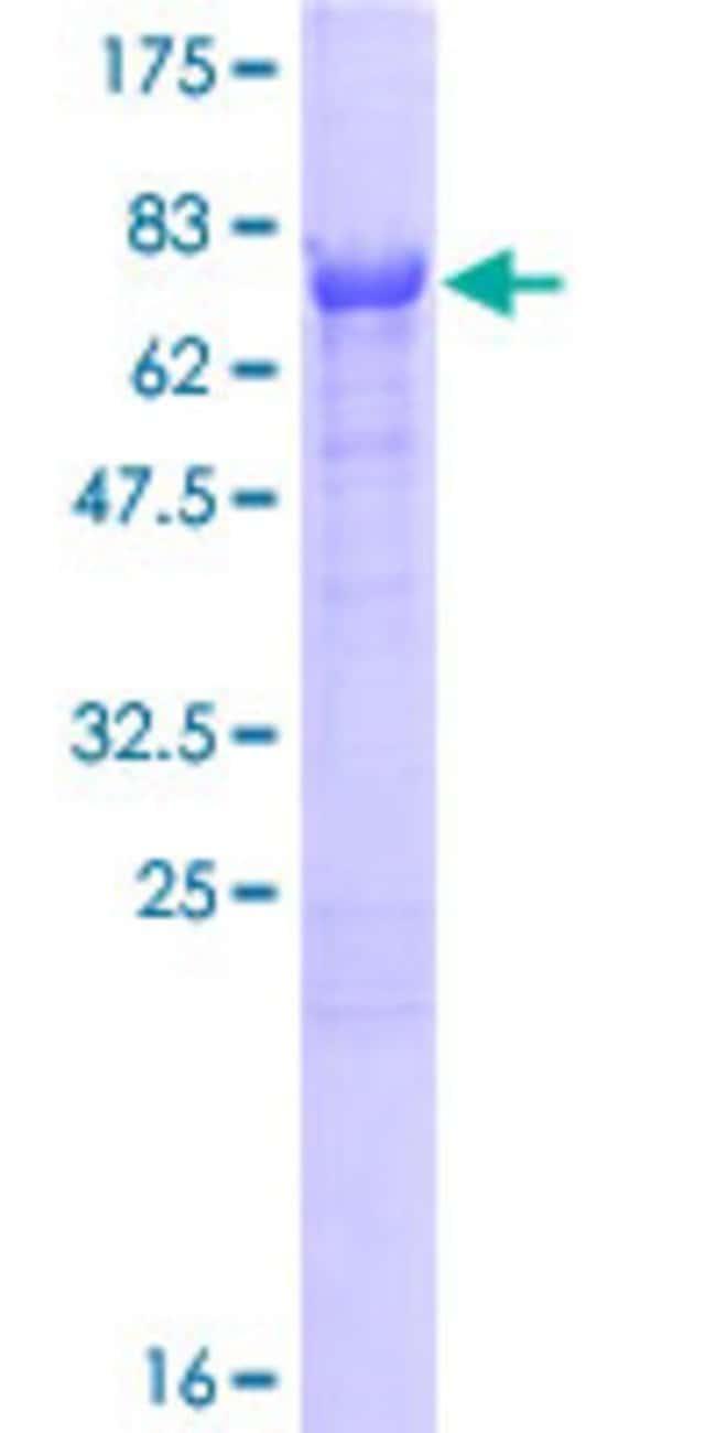 AbnovaHuman CNDP2 Full-length ORF (AAH01375.1, 1 a.a. - 475 a.a.) Recombinant
