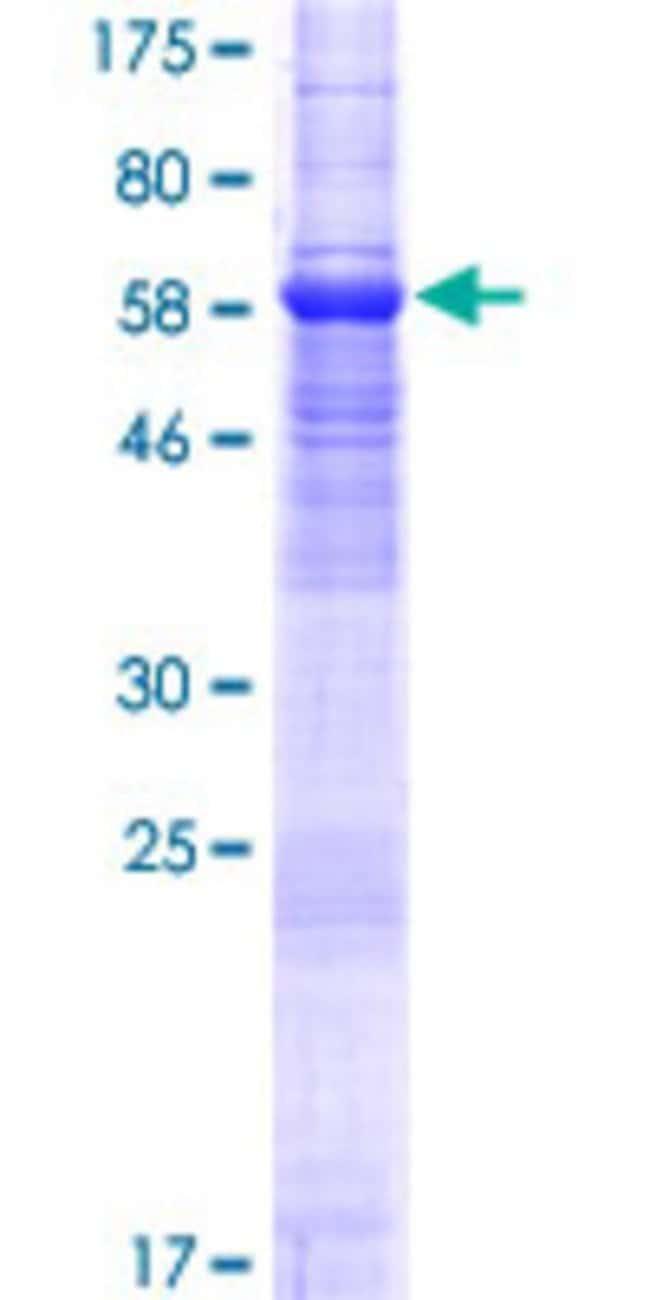 AbnovaHuman TMEM30A Full-length ORF (NP_060717.1, 1 a.a. - 361 a.a.) Recombinant