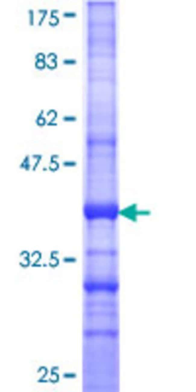 AbnovaHuman SEC3L1 Partial ORF (NP_839955, 780 a.a. - 879 a.a.) Recombinant