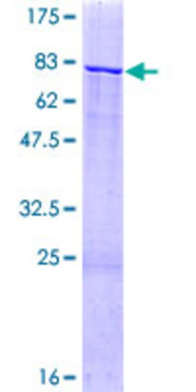AbnovaHuman ZNF83 Full-length ORF (AAH50407.1, 1 a.a. - 516 a.a.) Recombinant