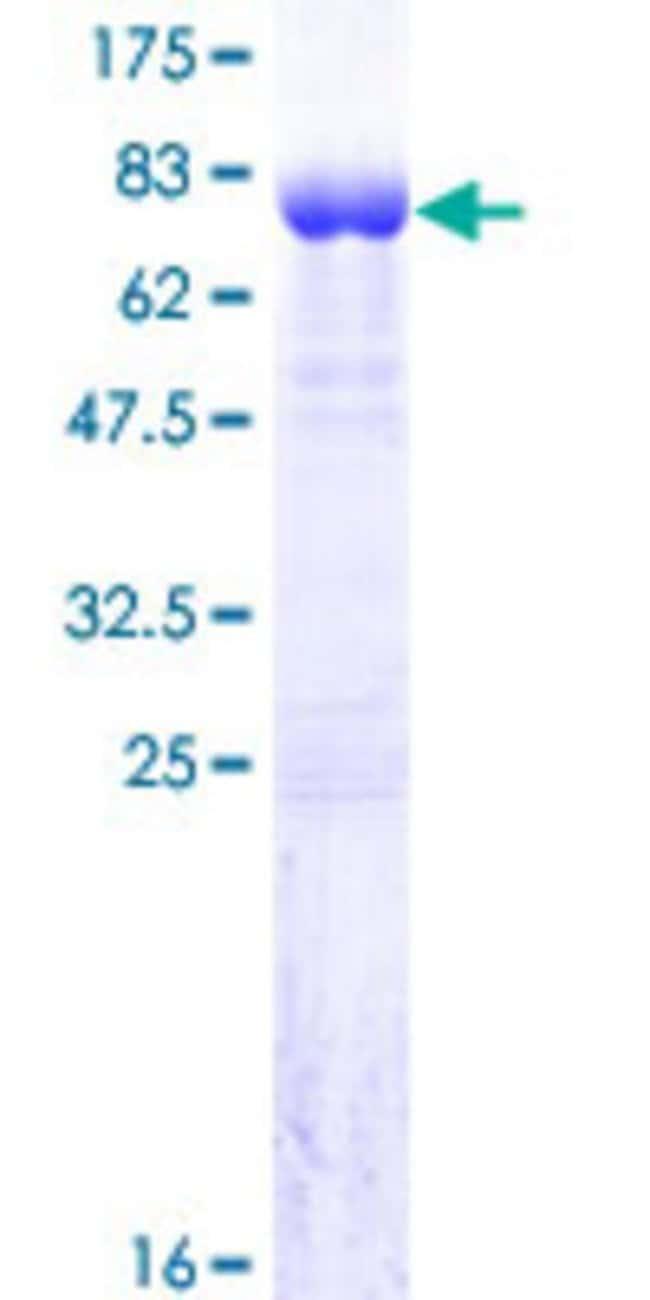 AbnovaHuman C14orf131 Full-length ORF (NP_060805.2, 1 a.a. - 428 a.a.)