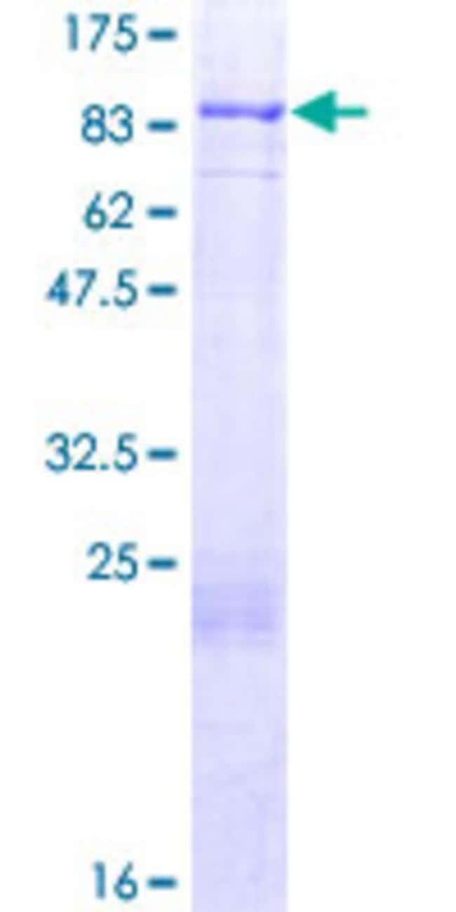 AbnovaHuman FOXJ2 Full-length ORF (NP_060886.1, 1 a.a. - 574 a.a.) Recombinant