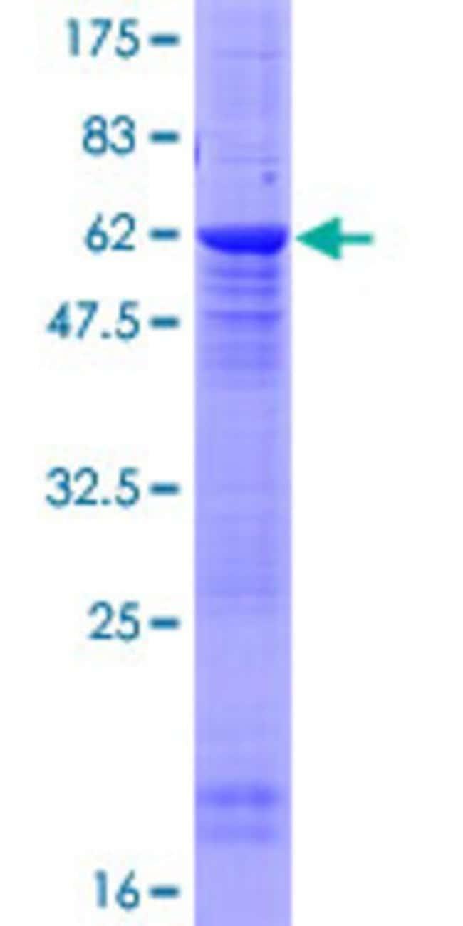 AbnovaHuman PPP2R2D Full-length ORF (AAH72402.1, 1 a.a. - 288 a.a.) Recombinant