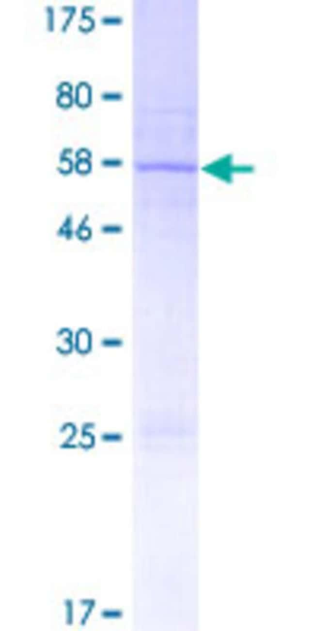AbnovaHuman C19orf80 Full-length ORF (AAI46553.1, 1 a.a. - 251 a.a.) Recombinant