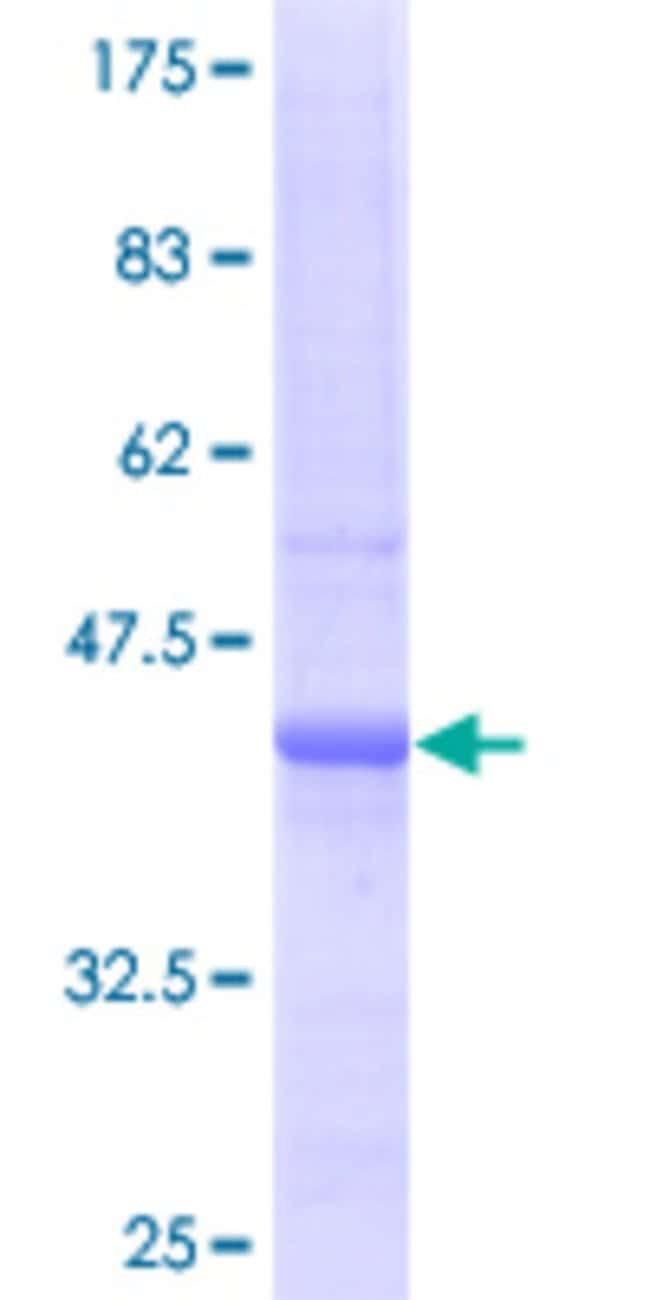AbnovaHuman SULF2 Full-length ORF (AAH20962, 1 a.a. - 149 a.a.) Recombinant