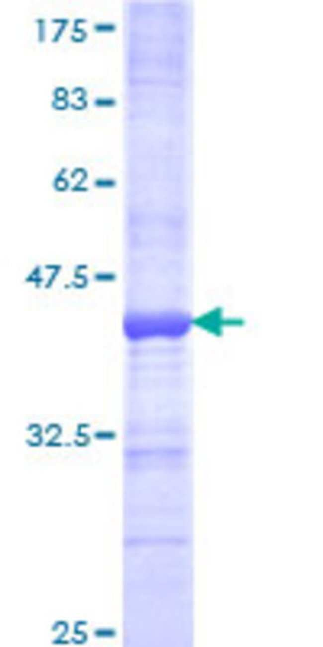 AbnovaHuman SEPT3 Partial ORF (NP_663786, 236 a.a. - 345 a.a.) Recombinant