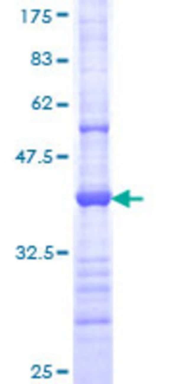 AbnovaHuman PCDHGC5 Partial ORF (NP_061752, 467 a.a. - 575 a.a.) Recombinant