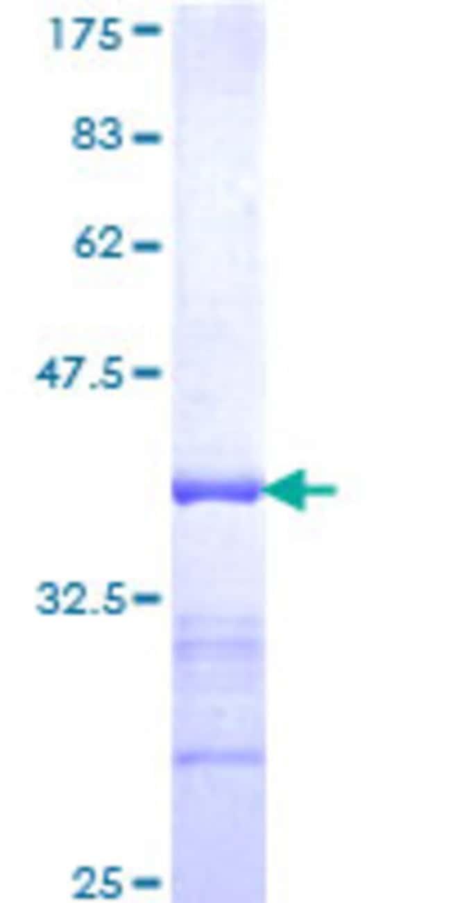 AbnovaHuman PCDHGC4 Partial ORF (NP_061751, 52 a.a. - 141 a.a.) Recombinant
