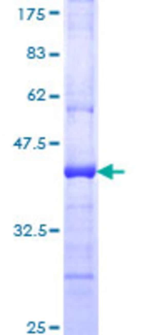 AbnovaHuman PCDHGA6 Partial ORF (NP_061742, 283 a.a. - 391 a.a.) Recombinant