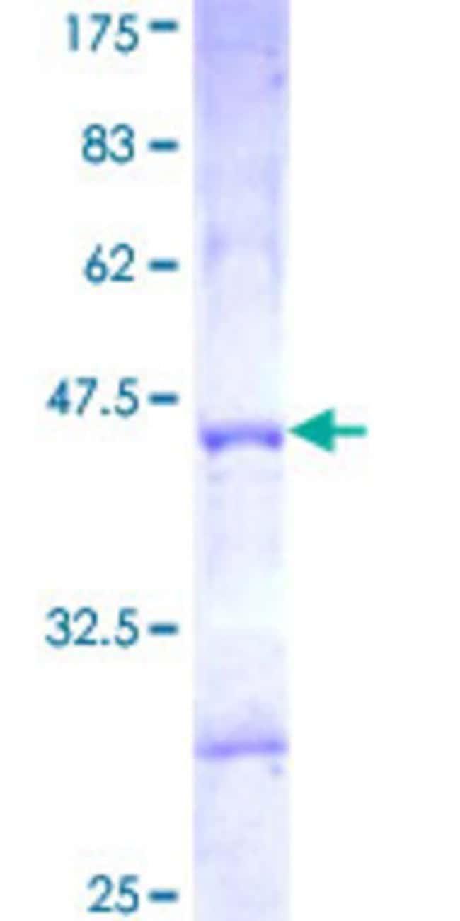 AbnovaHuman PCDHGA3 Partial ORF (NP_061739, 98 a.a. - 206 a.a.) Recombinant