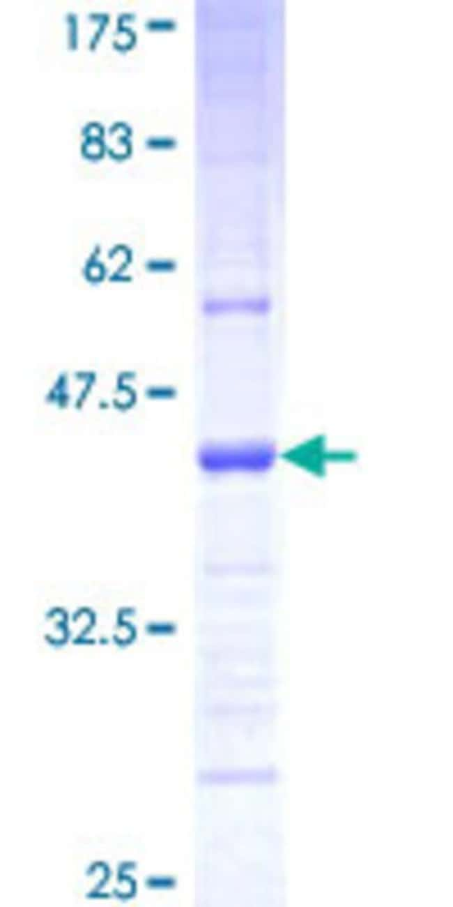 AbnovaHuman PCDHGA2 Partial ORF (NP_061738, 223 a.a. - 331 a.a.) Recombinant