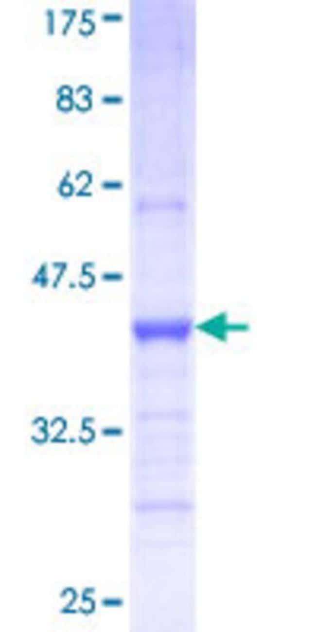 AbnovaHuman PCDHB12 Partial ORF (NP_061755, 301 a.a. - 400 a.a.) Recombinant
