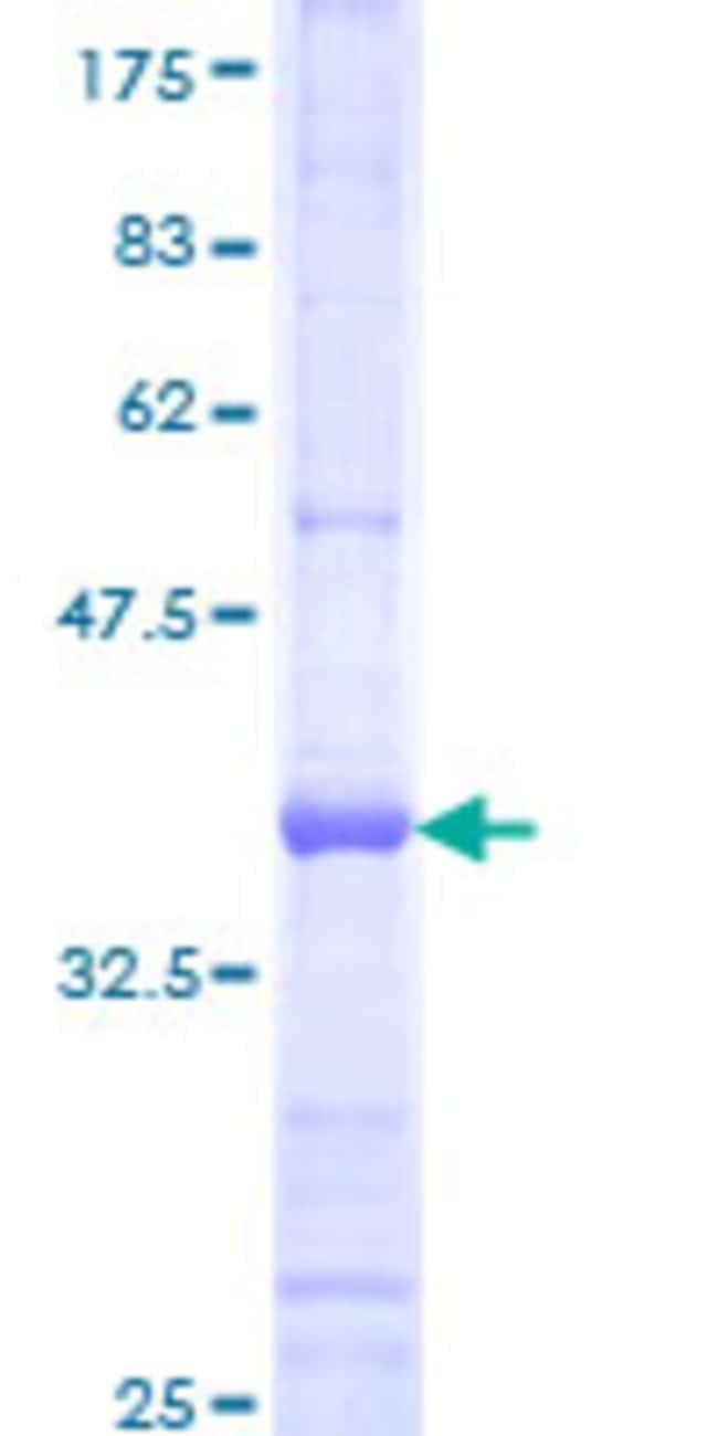 AbnovaHuman PCDHB10 Partial ORF (NP_061753, 27 a.a. - 125 a.a.) Recombinant