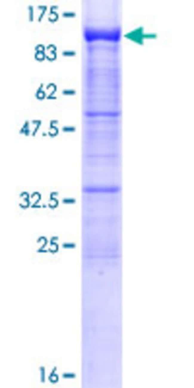 AbnovaHuman PCDHB2 Full-length ORF (AAH98575.1, 1 a.a. - 798 a.a.) Recombinant