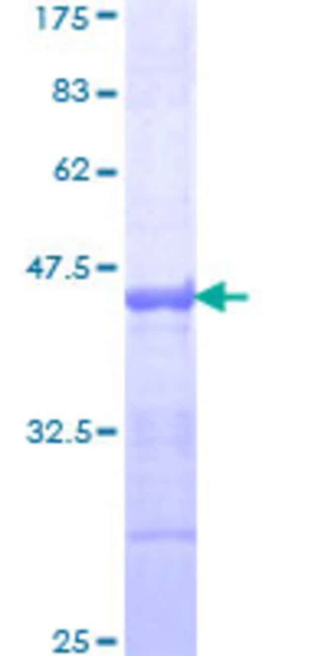 AbnovaHuman PCDHAC2 Partial ORF (NP_061722, 81 a.a. - 190 a.a.) Recombinant