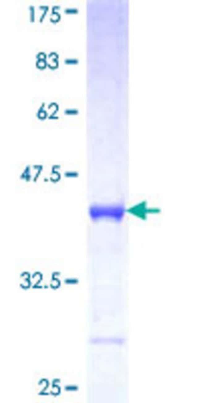 AbnovaHuman PCDHA10 Partial ORF (NP_061724, 182 a.a. - 290 a.a.) Recombinant