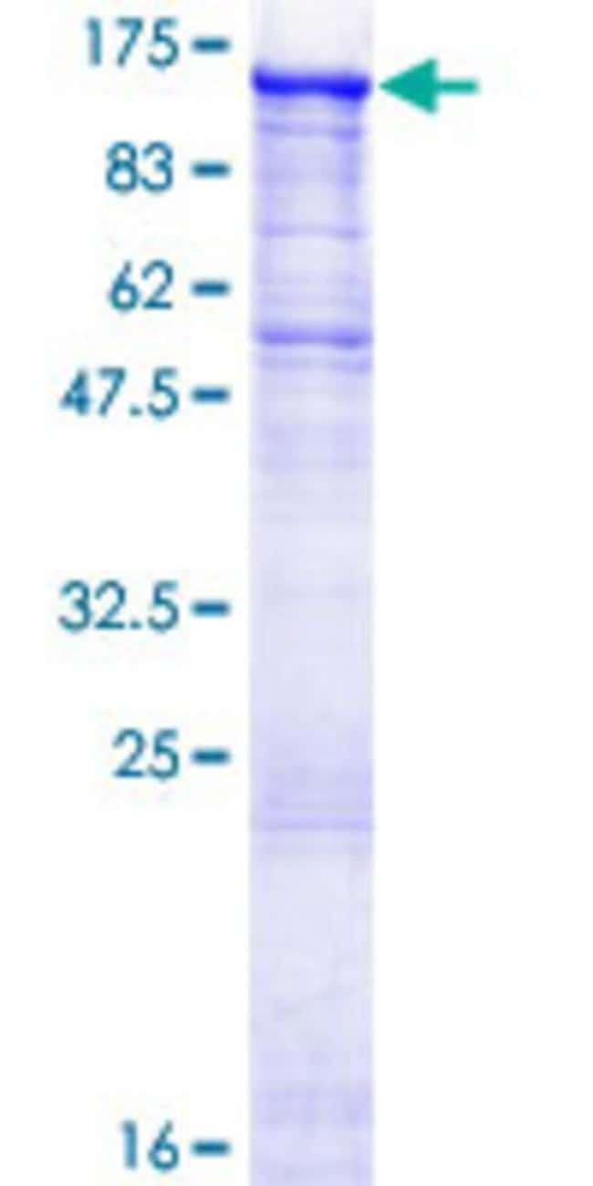 AbnovaHuman STK31 Full-length ORF (AAH59374.1, 1 a.a. - 1019 a.a.) Recombinant