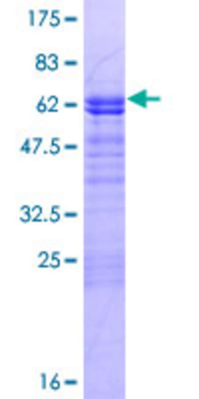 AbnovaHuman LMOD3 Full-length ORF (AAH39202.1, 1 a.a. - 236 a.a.) Recombinant