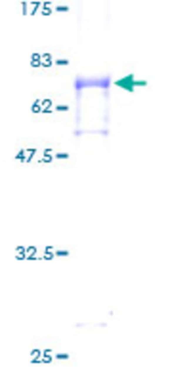 AbnovaHuman KCMF1 Full-length ORF (AAH00178, 1 a.a. - 381 a.a.) Recombinant
