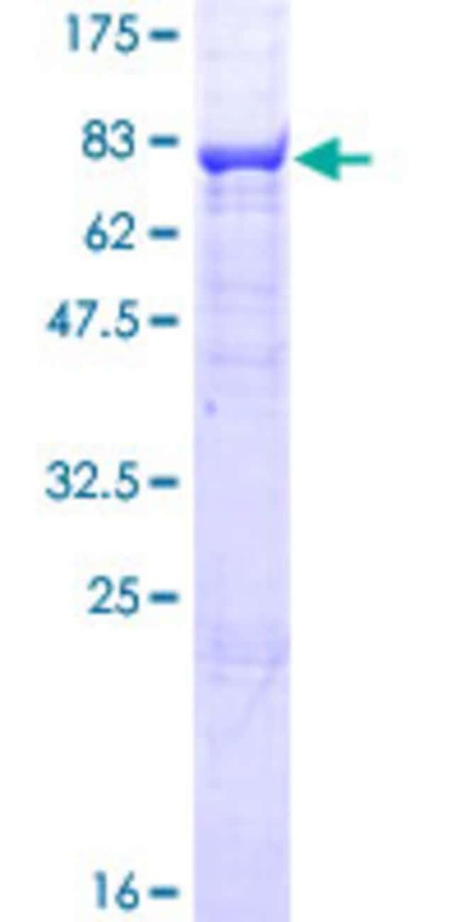 AbnovaHuman NCLN Full-length ORF (NP_064555.2, 1 a.a. - 563 a.a.) Recombinant