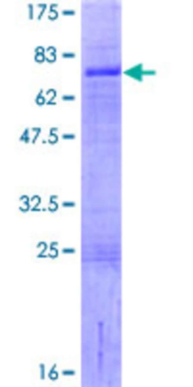 Abnova Human LHX9 Full-length ORF (NP_064589.2, 1 a.a. - 397 a.a.) Recombinant