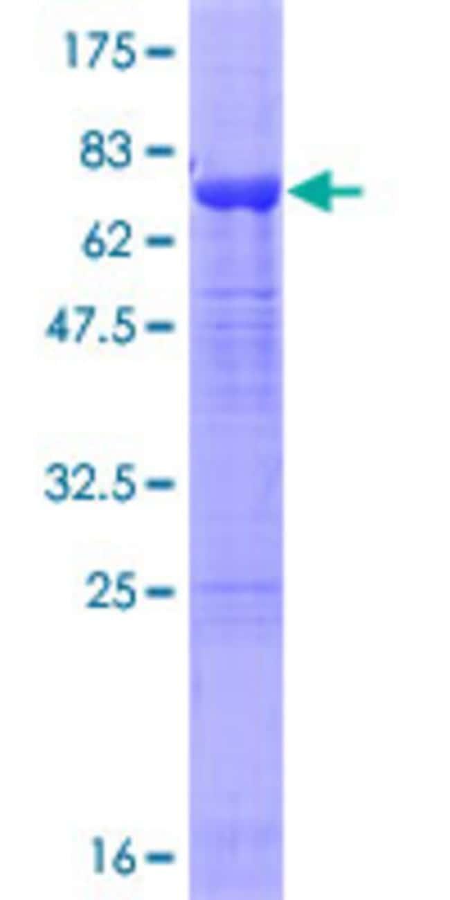 AbnovaHuman ZA20D1 Full-length ORF (AAH20622.1, 1 a.a. - 427 a.a.) Recombinant