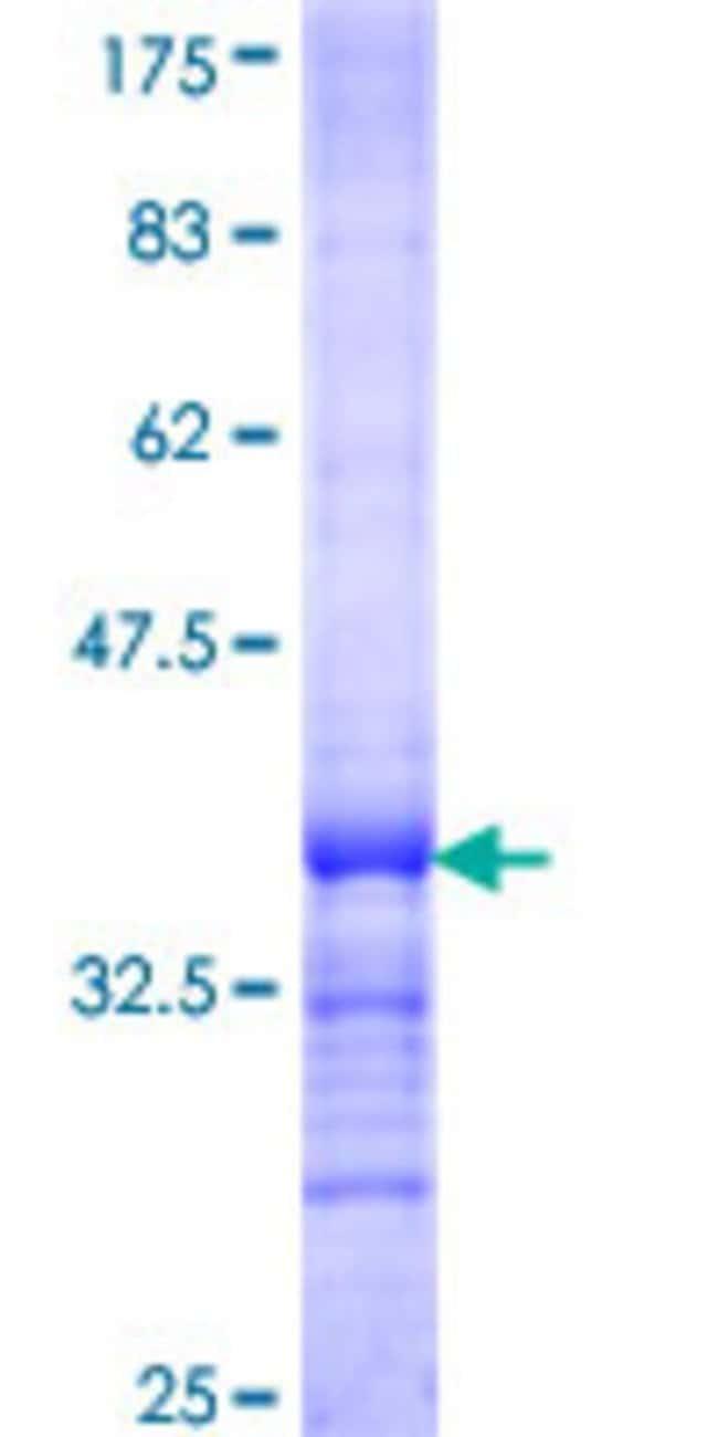 AbnovaHuman CDC42SE2 Partial ORF (NP_064625, 1 a.a. - 84 a.a.) Recombinant