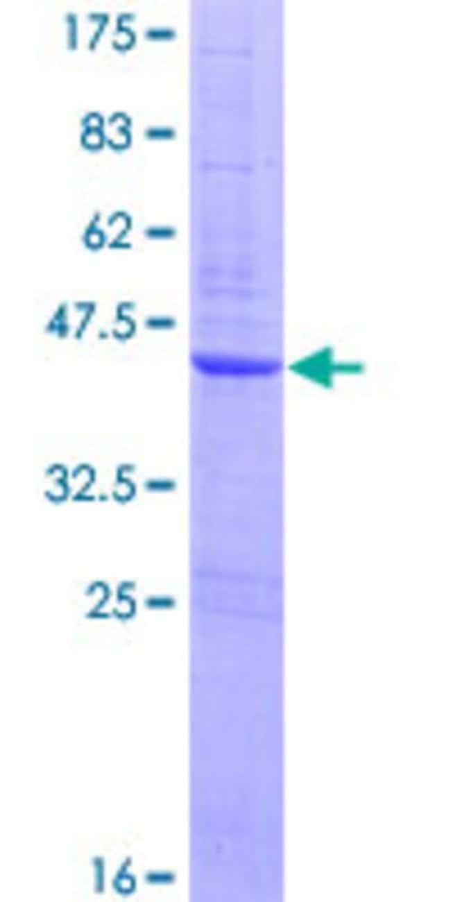 AbnovaHuman ZNF695 Full-length ORF (AAH23527.1, 1 a.a. - 133 a.a.) Recombinant