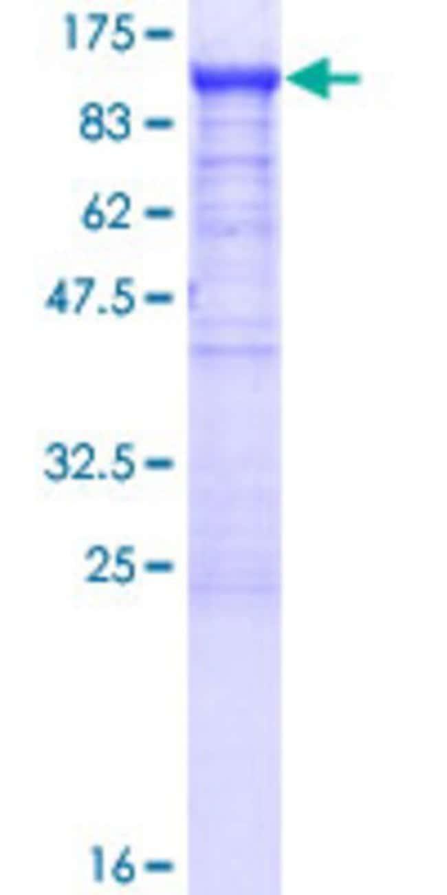 AbnovaHuman SCYL3 Full-length ORF (NP_065156.4, 1 a.a. - 688 a.a.) Recombinant